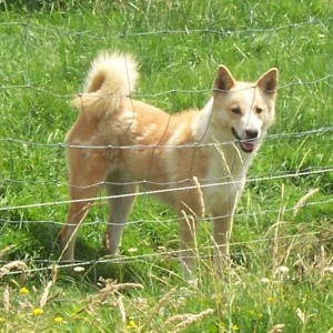 Aviva - Picture of a Canaan Dog